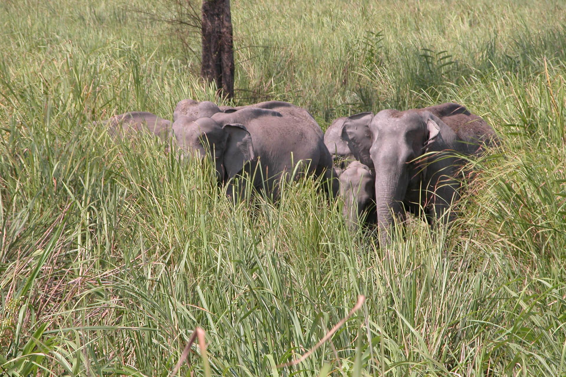 Pachyderm Herd, Garo Hills
